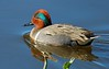 Green-winged Teal.