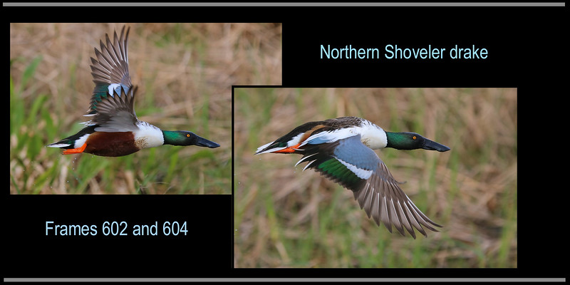 0aCattail Marsh, 1-27-17 602A and 604A composite final, Shoveler close flyby