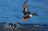 A Northern Shoveler exits the melee as he and another drake fight over a hen.