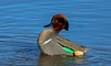 001aCattail Marsh1-23-17 5957A, big, Green wing courtship gesture-5957