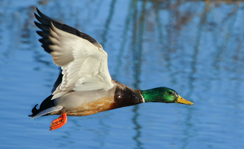Mallard takes off into the low morning sun, January 30th, 2017. First of 4 images in sequence.