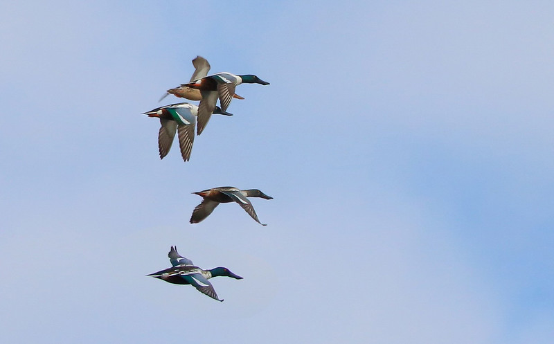 Four male Shovelers leave for another part of the marsh complex.
