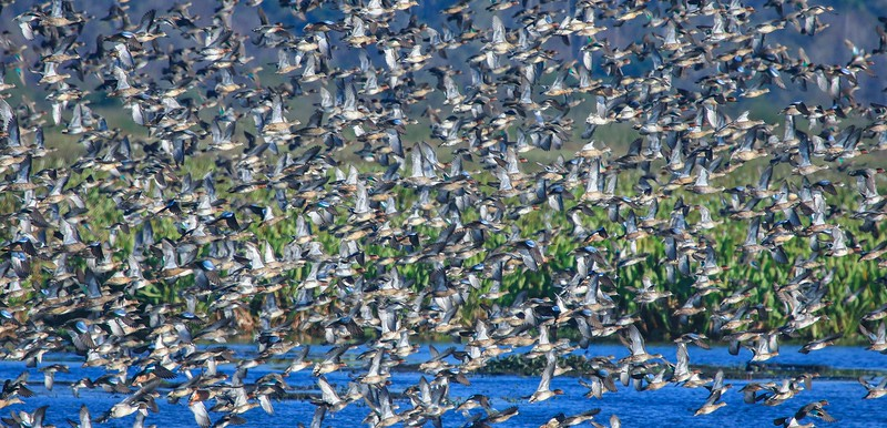 A big group of Teal, mostly Green wings, takes off.