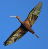 White-faced Ibis flyover.
