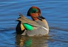 1st of nine images showing drake Green-winged Teal behavior during courtship.