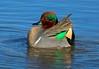 00aCattail Marsh 1-23-17 5960B, GW Teal courtship gesture-5960