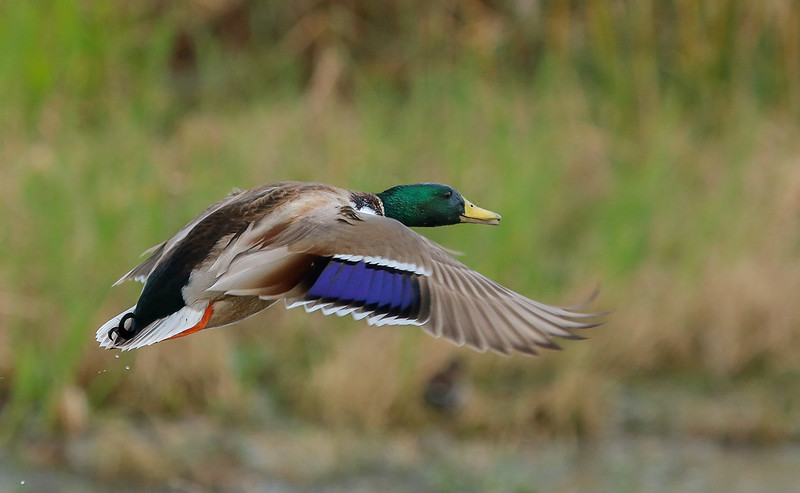 By now the Mallard has built up some speed.