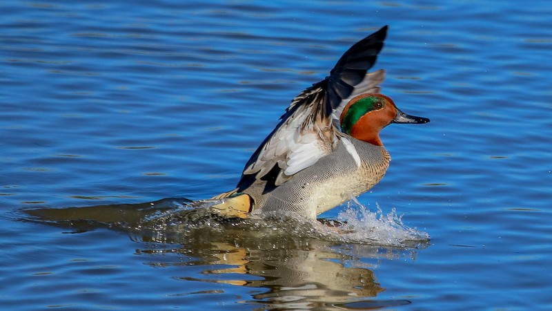 Early morning touchdown of a Green-winged Teal drake.