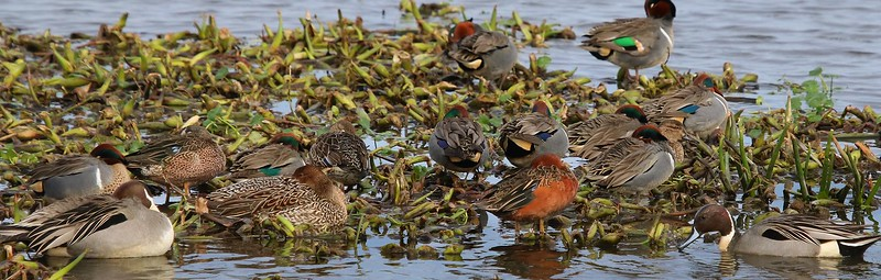 Blue wings, Green wings, Pintails and a Cinnamon Teal rest together.