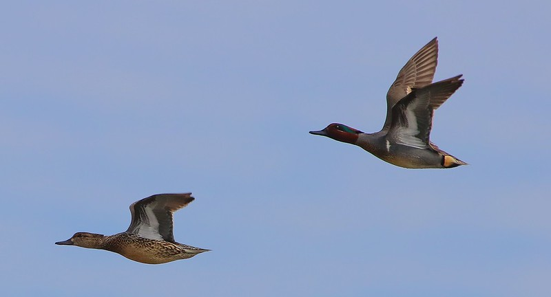 Green-winged Teal pair.