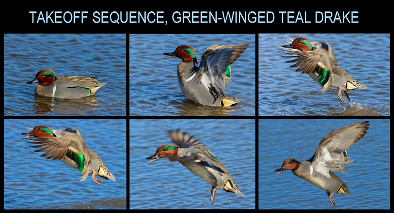 In 2 joyous weeks I went from seeing only a handful of Green-winged Teal in my whole life (all far away) to having more decent photos of them than I will ever edit.
