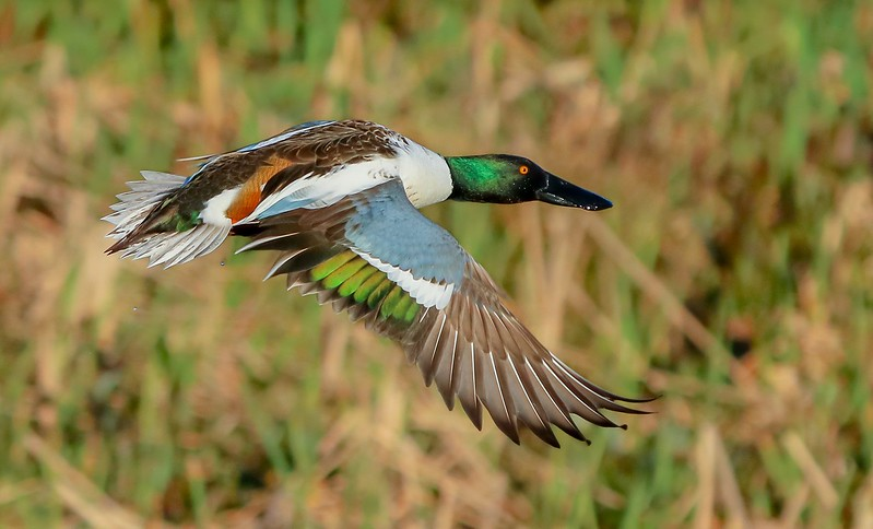 One image showing all the Northern Shoveler breeding plumage colors.