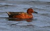 01aCattail Marsh 1-26-17 141A good Cinnamon Teal-146