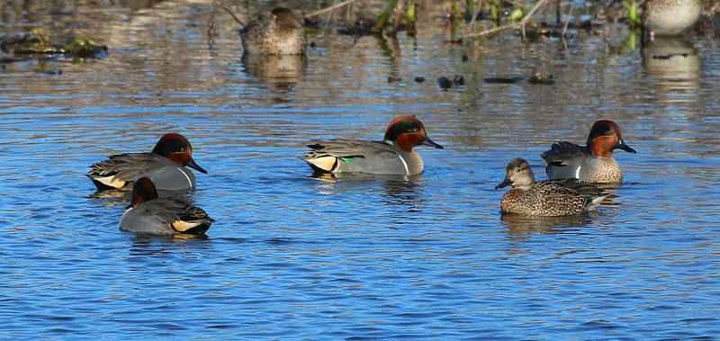 00aCattail Marsh, 1-23-17 5767A, 4 and 1 GW Teal in a courtship circle-5767