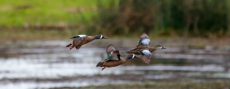 0aCattail Marsh, 1-27-17 334D small final, BW Teal trio, flying low