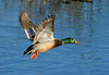 Mallard levels out and begins an easy left turn.