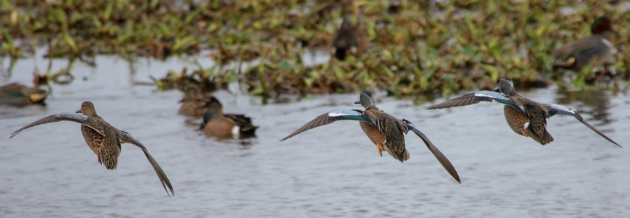 Setting up to land after a courtship flight. Blue wings.