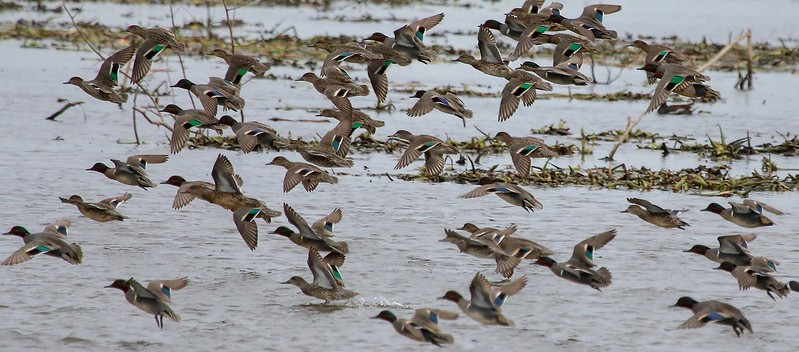 Normally shy Green-winged Teal seemed more comfortable here with humans.