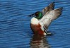 001aCattail Marsh 1-30-17 396A, small Shoveler wing flap
