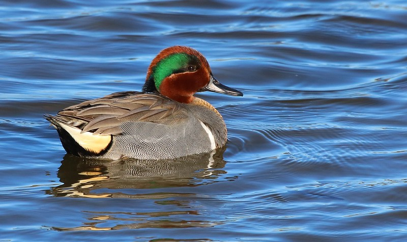 It's a treat to see a male Green-winged Teal in clear water under a blue sky, at close distance and in direct low angle sunlight.
