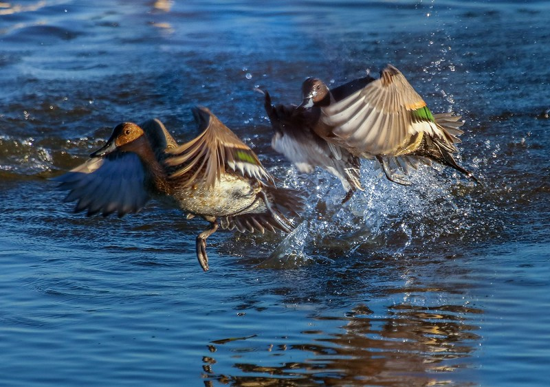 Two Pintail drakes fighting over a hen.