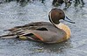 01aCattail Marsh1-26-17 709A, close Pintail drake
