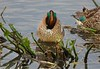Green-winged Teal, with head down, grooming.
