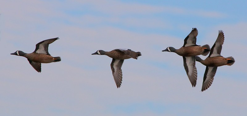 0aCattail Marsh, 1-27-17 469A, small BW Teal group finished