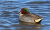 001aCattail Marsh1-23-17 5667A, big, Green wing drifting-5667
