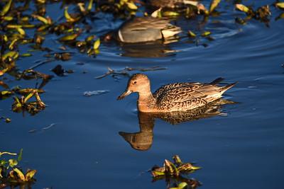 Pintail Hen Duck