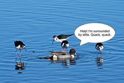 Cattail_Marsh_Pintail_surrounded_D50_1948
