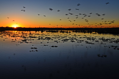 Sunrise and Flying Ibises Above Cattail Marsh