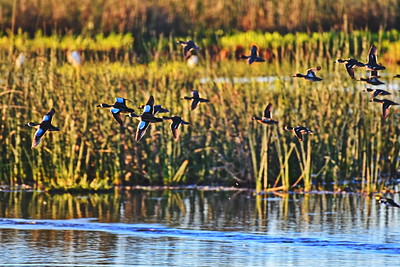 Blue-winged Teal take to flight at sunrise