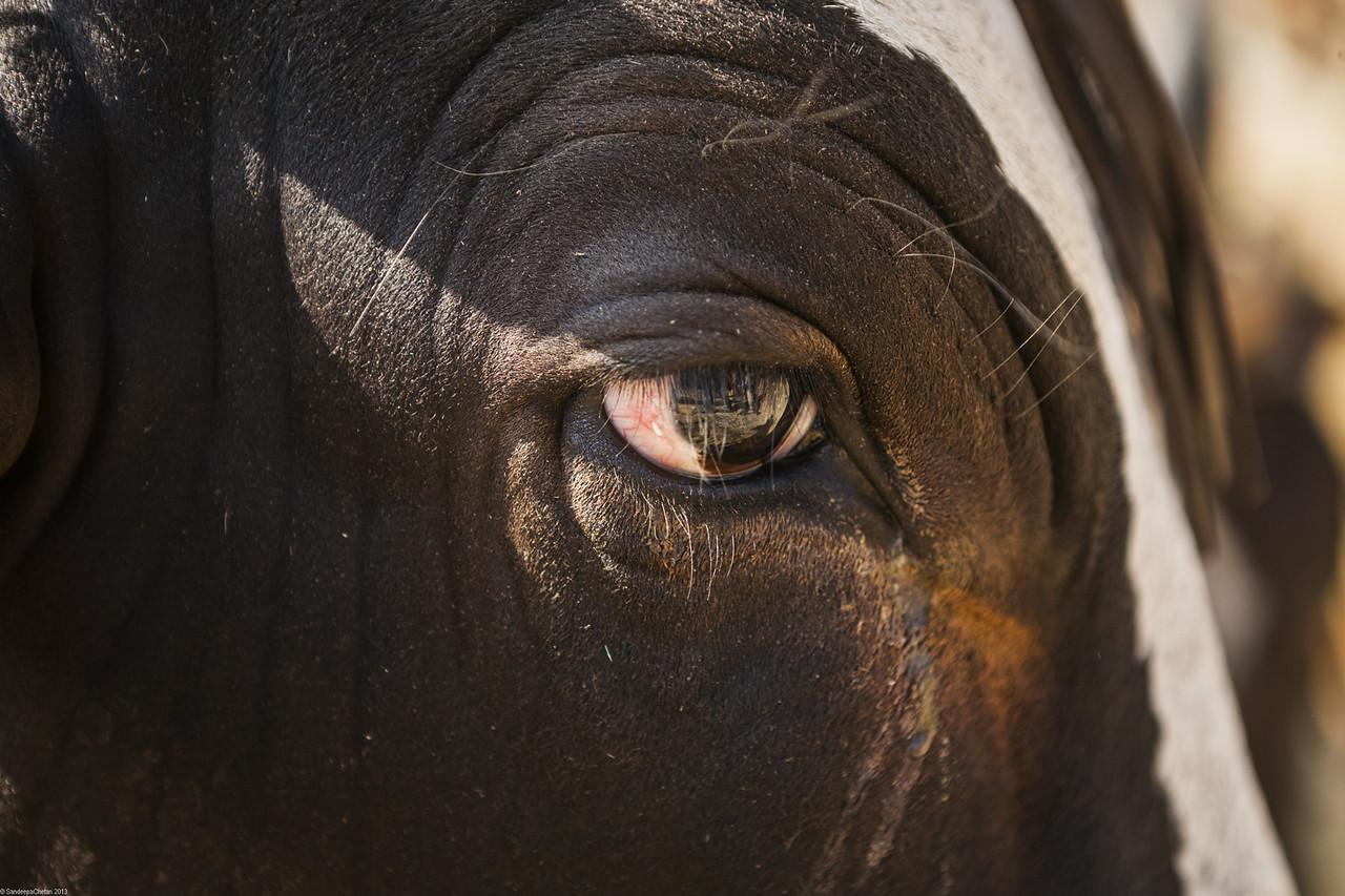 Bulls eye, Rajur, Maharashtra, India