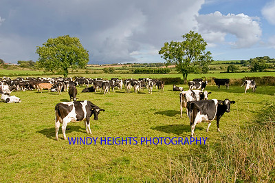 DSC_Cattle Clonakilty 4612