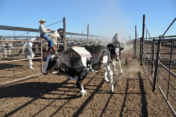 Cattle and Feedlots
