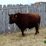 2017 Lee Red Angus - Red Truck Bull Sale