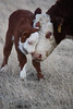 "<b>Lot 9A & 9B - <i>""Give Me Some Lovin""</i> Hereford photo canvas print</b> Two canvas prints will be auctioned off.  1 is 16""x24""-valued at $325.00 1 is 20""x30"" valued at $350.00.  Print is not framed. Seller is covering shipping costs. Made by Tresha Holden. Donated by Holden Herefords - Jack & Tresha Holden, Valier, MT <B>9A - Whispering Pine Farms LLC, MN for $425.00</b> <b>9B - GKB Cattle Co., TX for $475.00</b>"