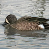 Bluewing Teal drake.  Cloud filtered light.  Auto-ISO ISO2500.
