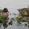 Greenwing Teal pair.  Shot very early in extremely low light.  ISO3200.  20 to 25 feet away.