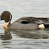 Pintail drake.  Shot at ISO2500.  Had it not been for the cloud cover, the shot would have been very difficult, because it would have been backlit.