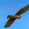 Northern Harrier on the hunt for ducks.  The sky was a wannabe.  Shot ISO125.