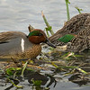 Greenwing Teal pair.  Shot very early in extremely low light.  ISO4000.  20 to 25 feet away.