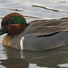 Greenwing Teal drake.  Cloud filtered light.  Auto-ISO ISO2000.