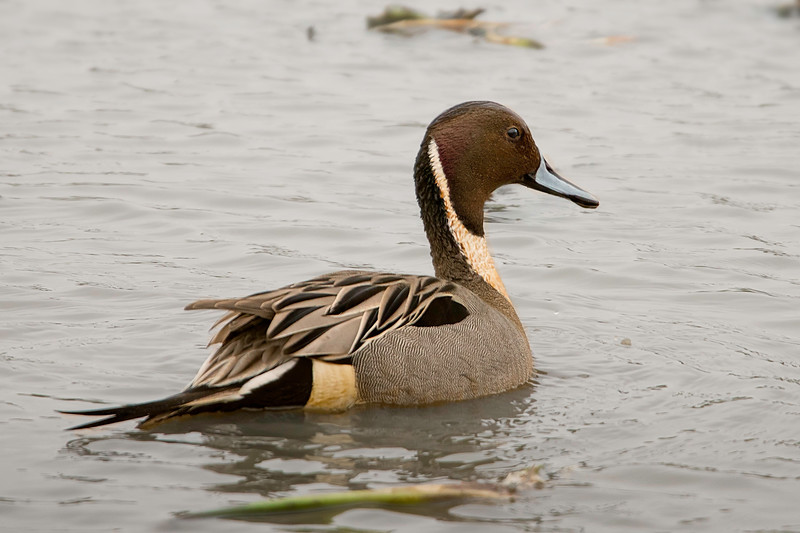 North American Pintail drake.  ISO1000 and Tamron 600mm zoom lens.
