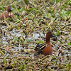 The two Cinnamon Teal drakes reported by Jay and Scott earlier.  By Nikon rangefinder, this guy was 50 yards away.  ISO2500 and Tamron 600mm zoom lens.
