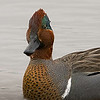 Greenwing Teal drake portrait.  ISO800 and Tamron 600mm zoom lens.