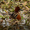Cinnamon Teal drake, one of two I saw during this shoot on 020417.   By Nikon rangefinder, this guy was 50 yards away.  ISO2500 and Tamron 600mm zoom lens.