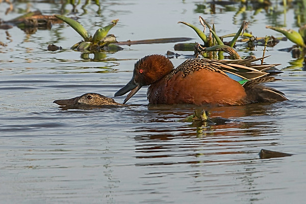Eighteen step mating sequence of a pair of Cinnamon Teal.  Cattail Marsh on 010917.