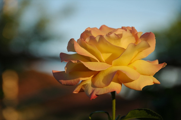 Yellow Rose - Kakheti, Georgia